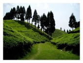 a valley of tea gardain just above Mirik.jpg
