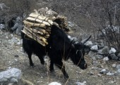 yak carrying firewood.jpg