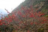 Kapok (Silk Cotton) Tree in full flower.jpg