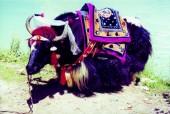 tibet yak.jpg
