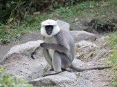 Black faced Langur.jpg