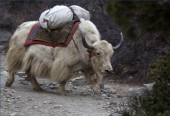 Yak with supplies.jpg