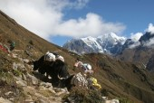 yak carrying on the trail supplies.jpg