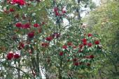 Rhododendron tree in spring.jpg